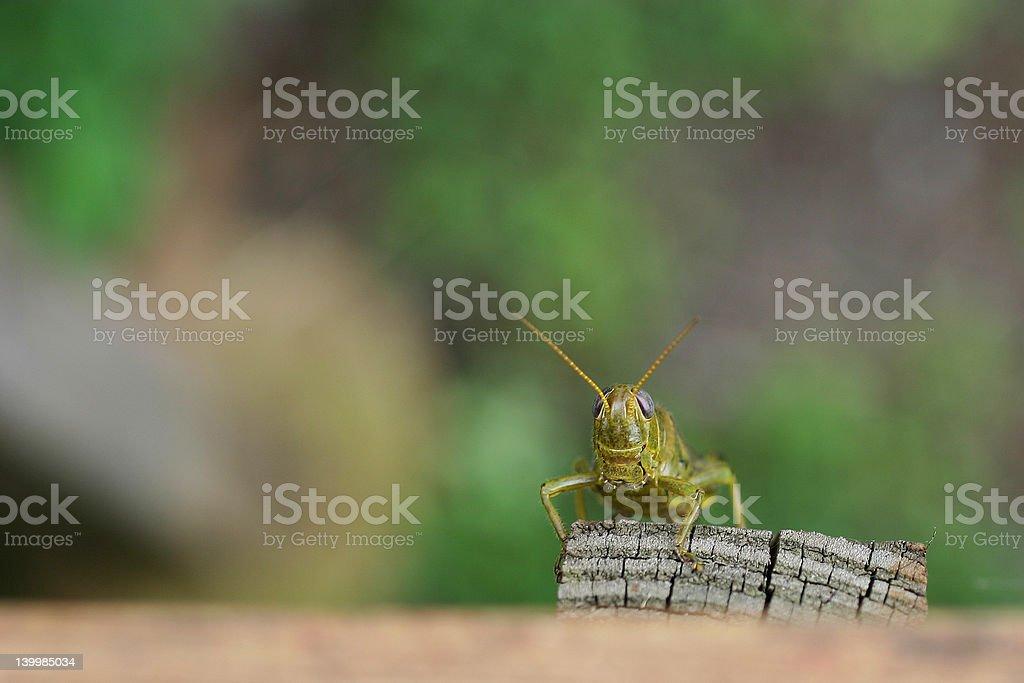 Grasshopper Posing royalty-free stock photo