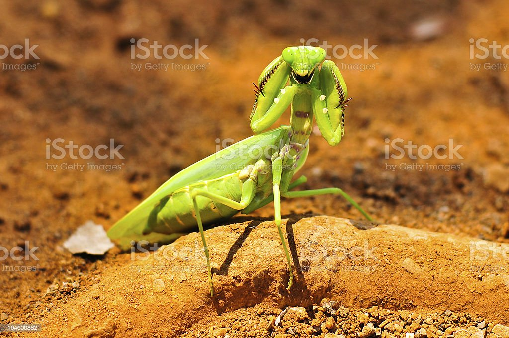 Grasshopper protect themselves from birds. royalty-free stock photo