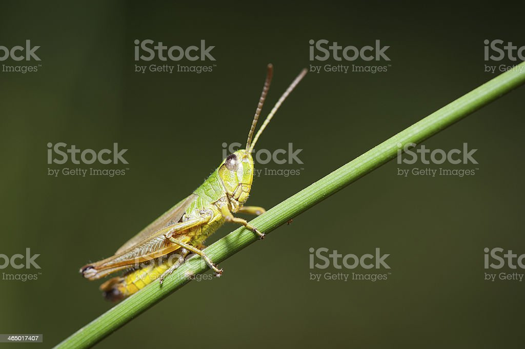 Grasshopper resting on the grass royalty-free stock photo
