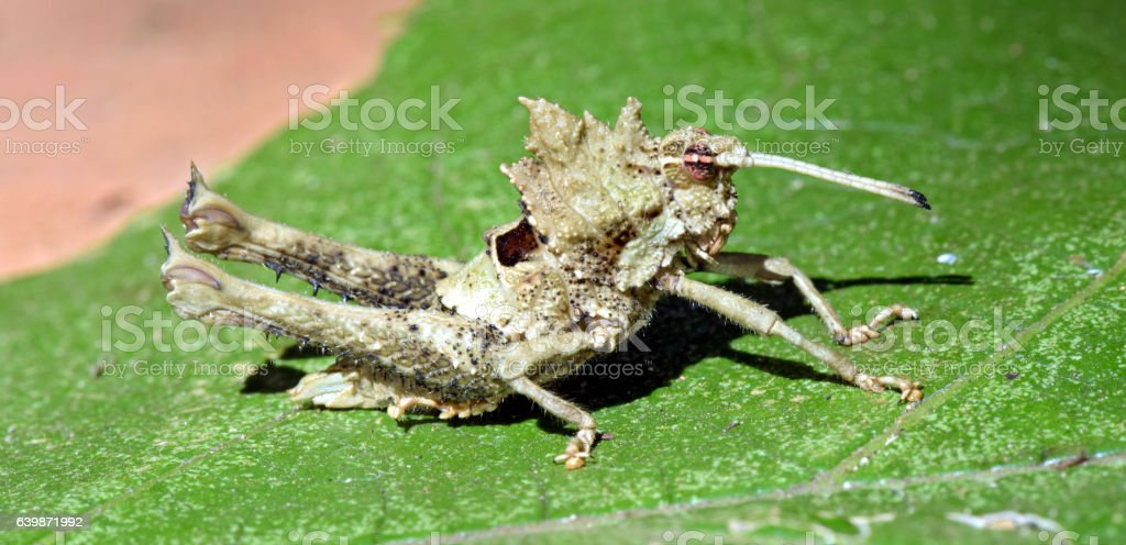 Grasshopper seen in urban stretch of the Atlantic Forest stock photo