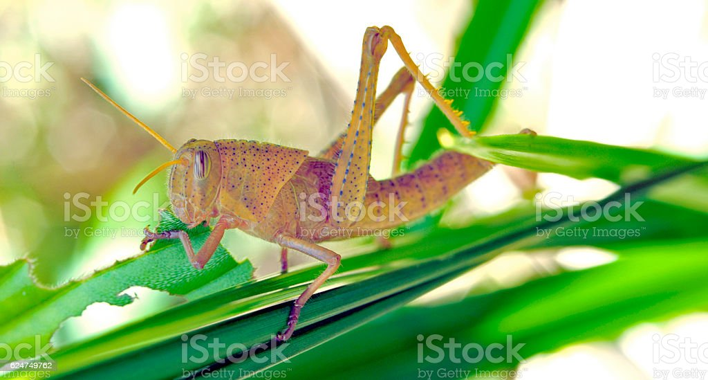 Grasshopper sighted in Atlantic forest in the urban area stock photo