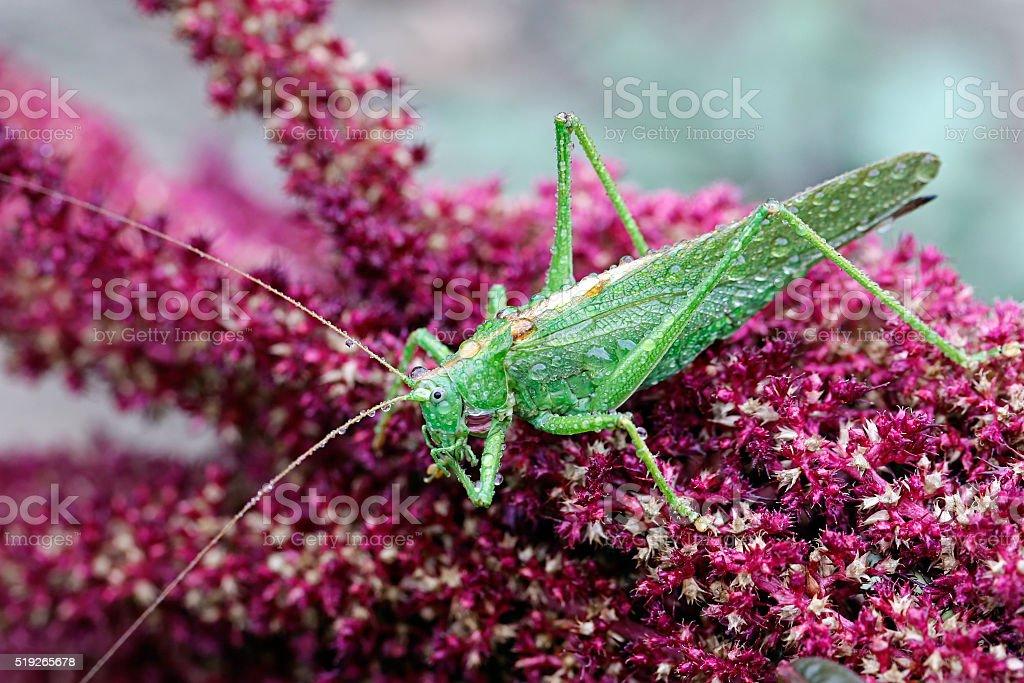 Grasshopper sitting on a flower of amaranth stock photo