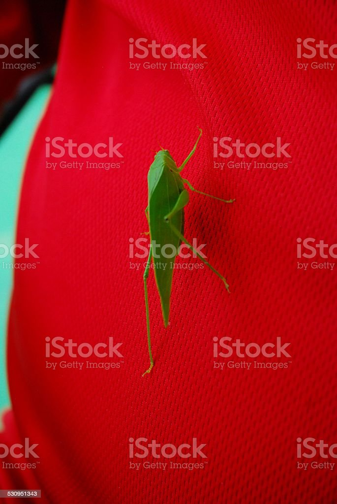 Grasshopper Sitting on a Man's Shirt royalty-free stock photo