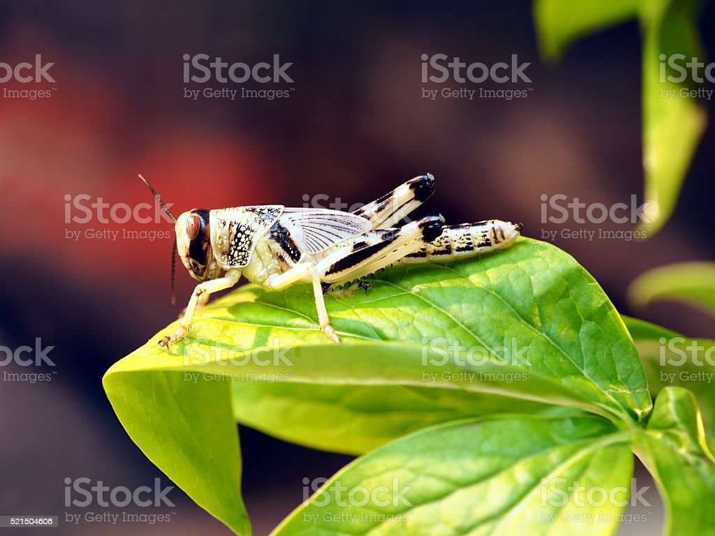 Grasshopper sitting on green leaves closeup stock photo