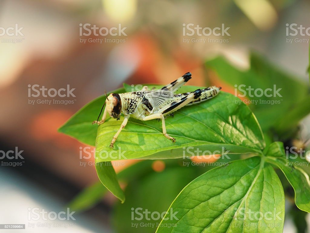 Grasshopper sitting on the branch closeup stock photo