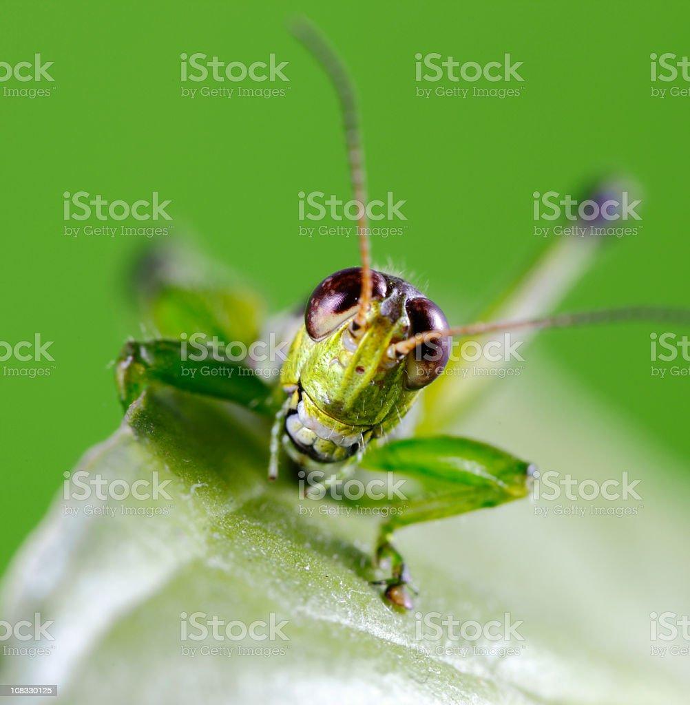 Grasshopper Smiling royalty-free stock photo