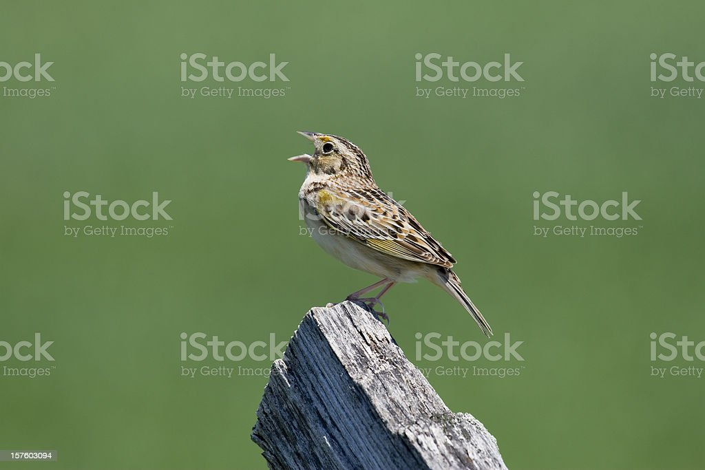 Grasshopper Sparrow (Ammodramus savannarum) Singing From a Fencepost stock photo