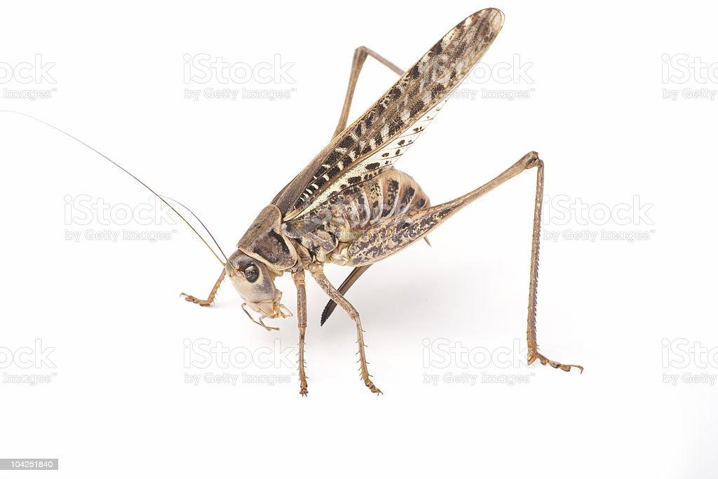 Grasshopper striking a pose royalty-free stock photo