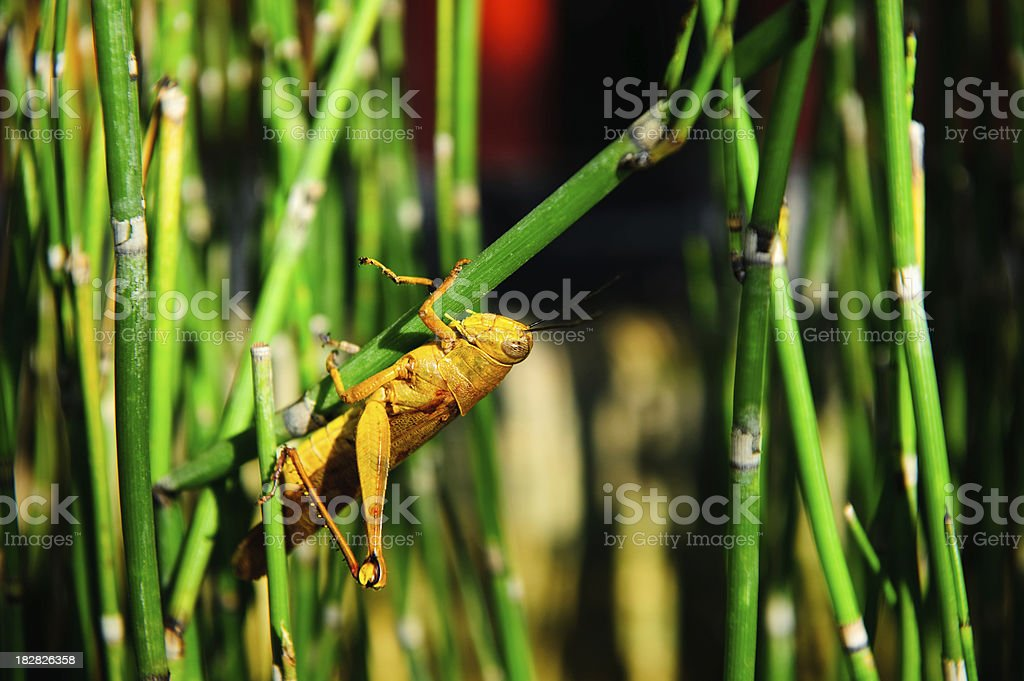 Grasshopper upside down holding onto bamboo royalty-free stock photo