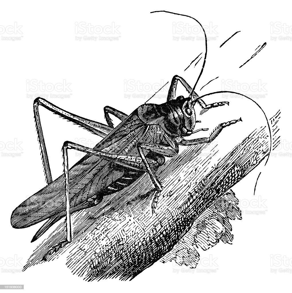 grasshopper vintage illustration royalty-free stock photo