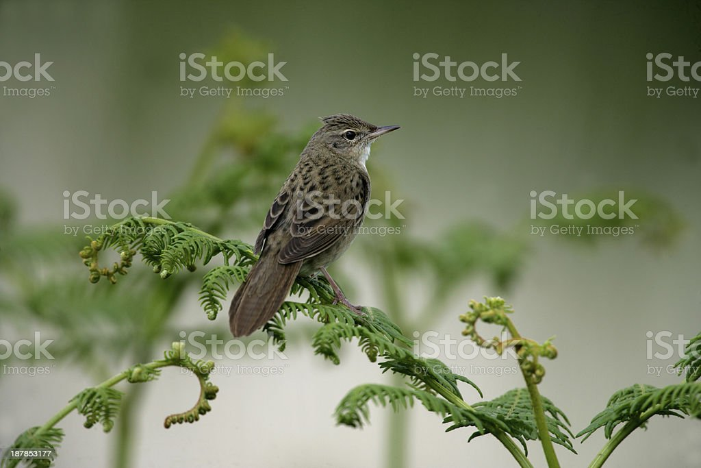 Grasshopper warbler, Locustella naevia stock photo