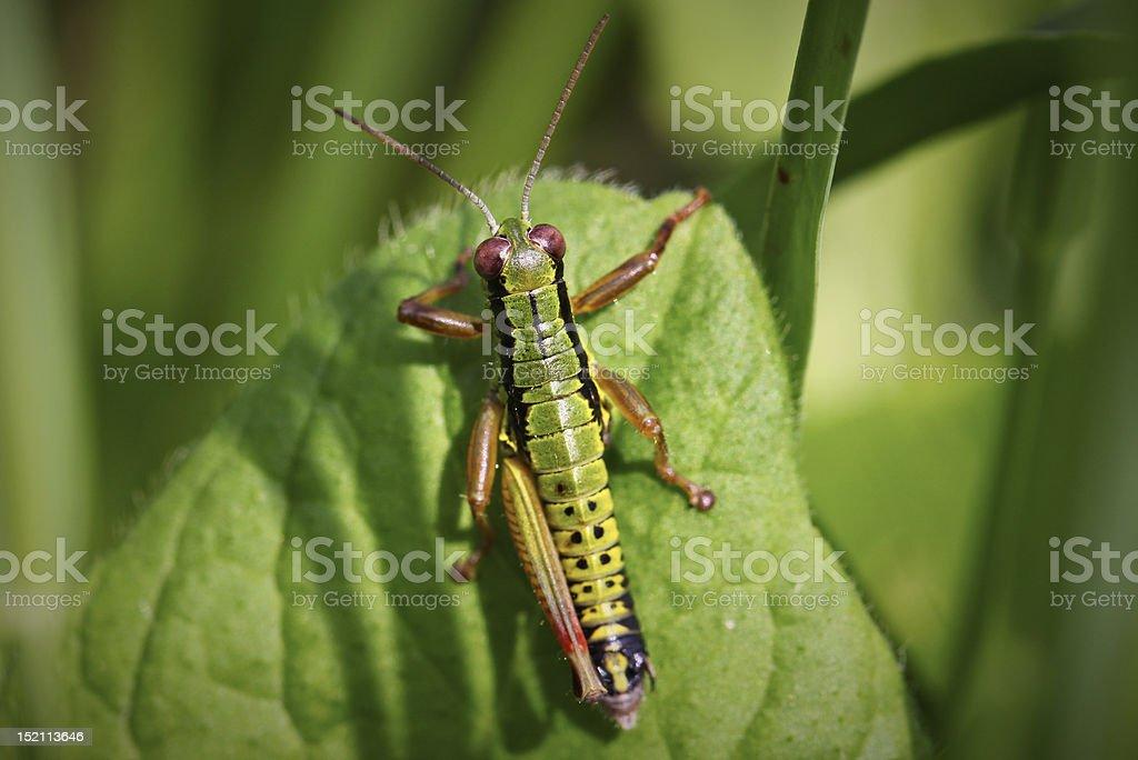 Grasshopper with one leg royalty-free stock photo