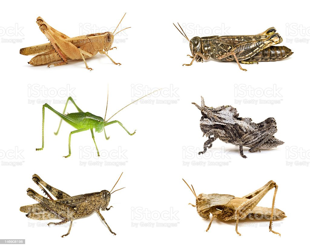 Grasshoppers close-up collections  isolated on white royalty-free stock photo