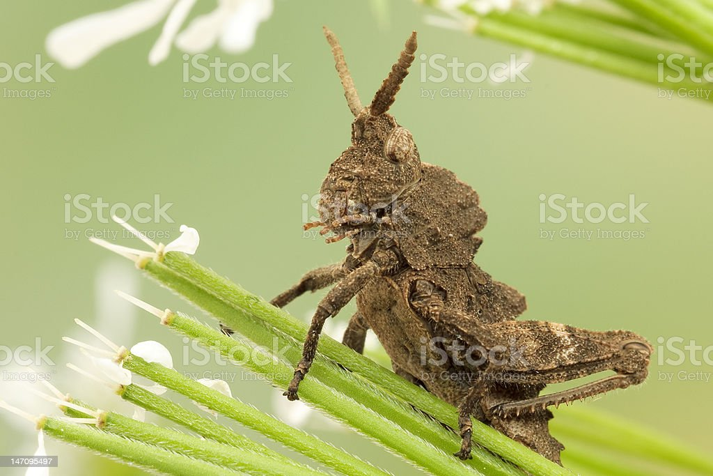 Grasshoppers close-up royalty-free stock photo