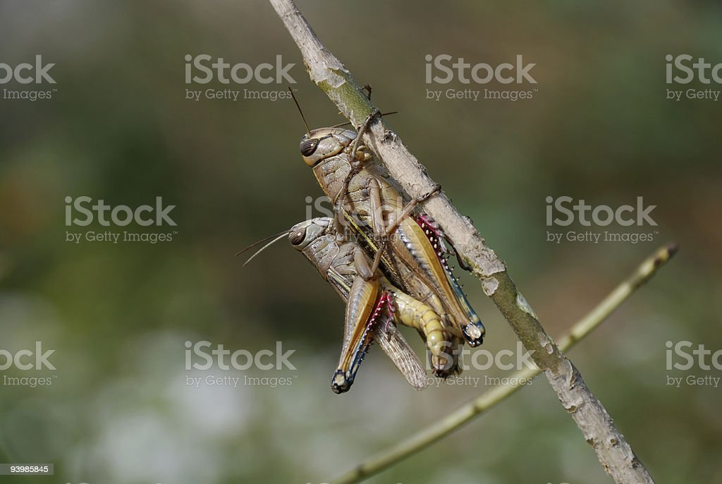 Grasshoppers couple royalty-free stock photo