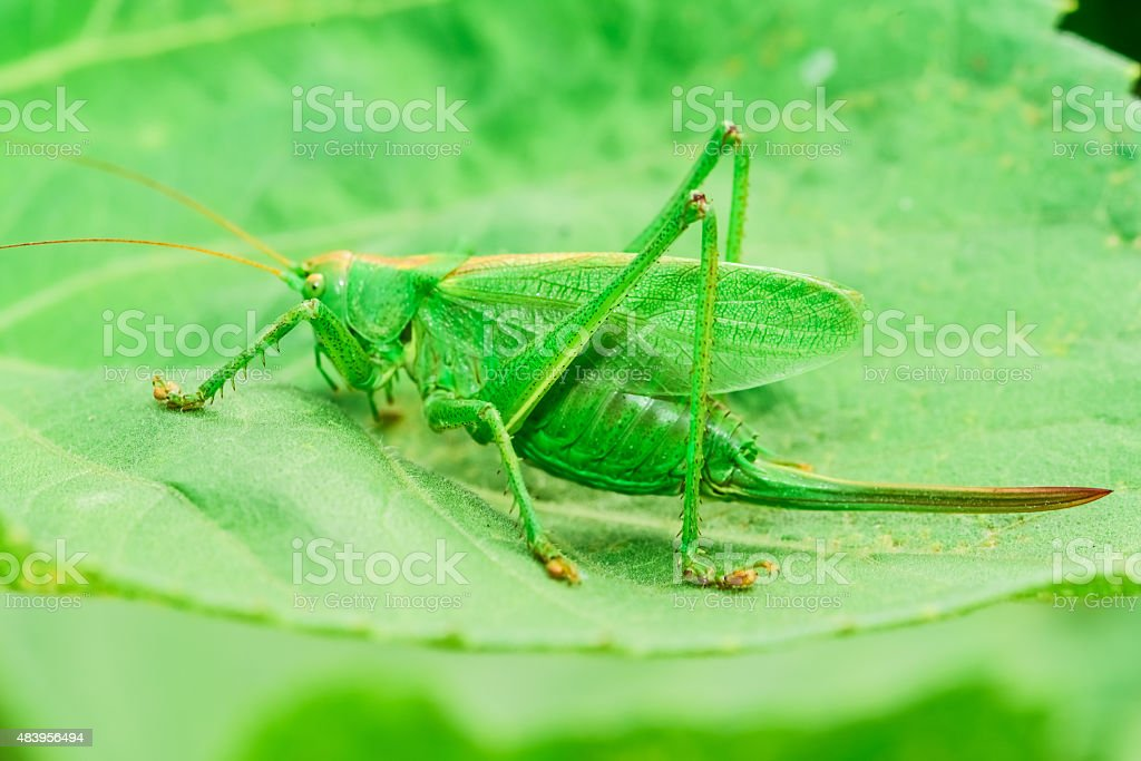 grasshoppers green stock photo