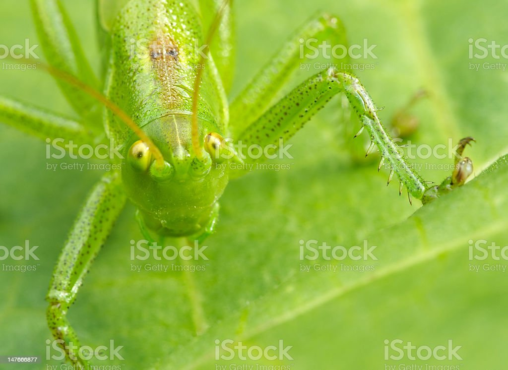 Grasshopper's look royalty-free stock photo