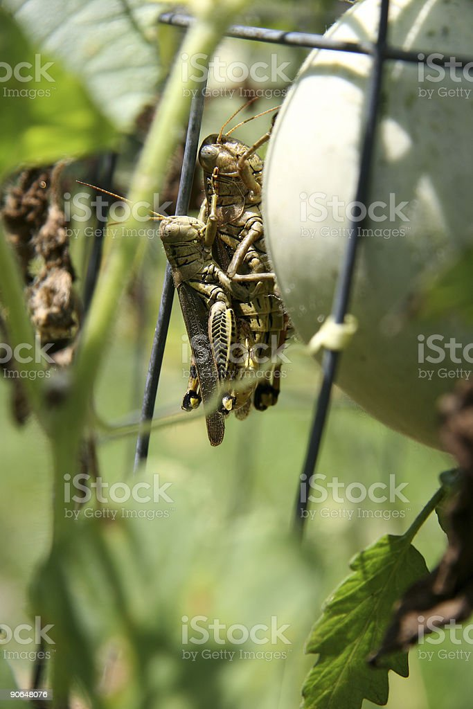 Grasshoppers Mating royalty-free stock photo