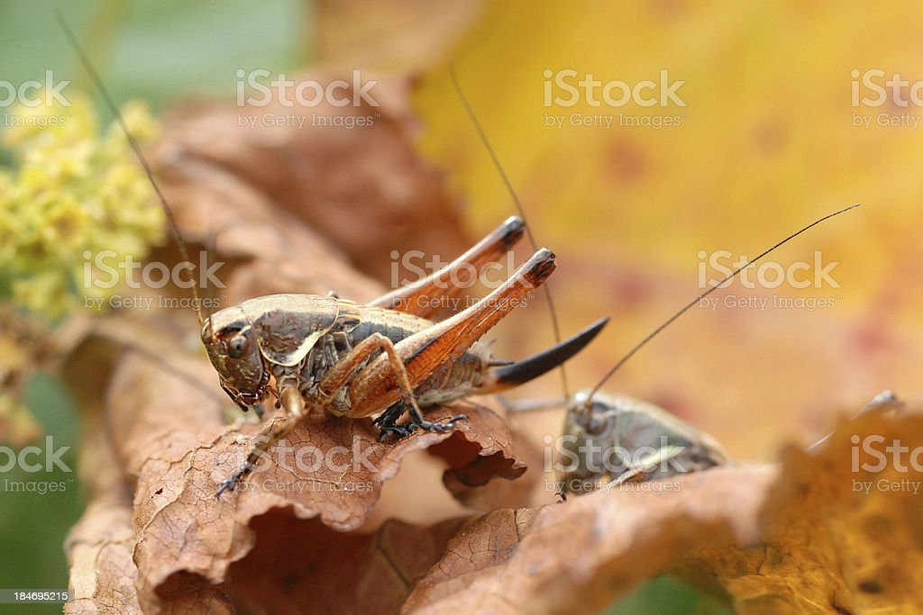 Grasshoppers on red leaf royalty-free stock photo