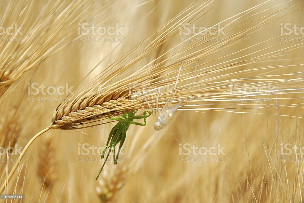 Grasshoppers on wheat ears royalty-free stock photo