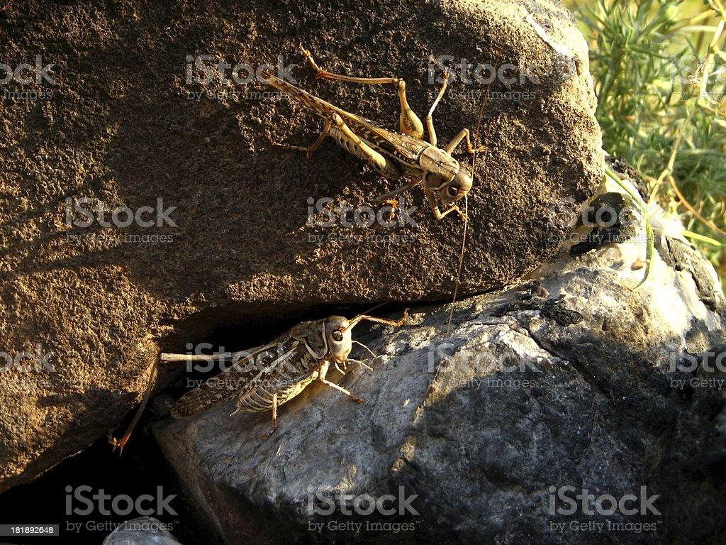 grasshoppers Lizenzfreies stock-foto