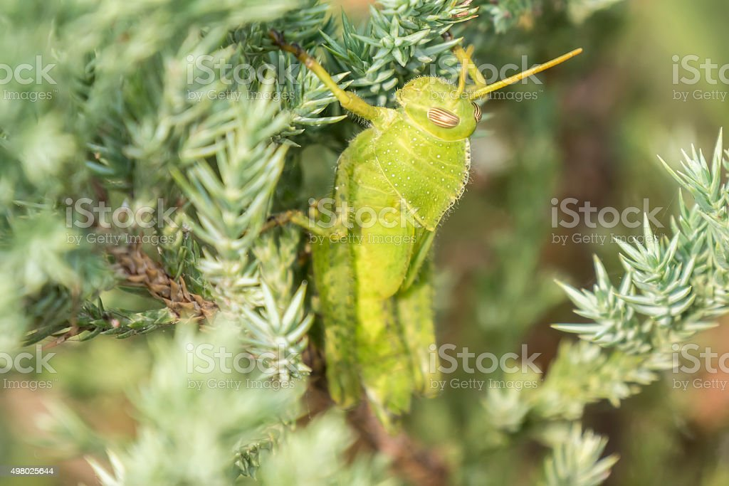 Grasshoppers remaining in a plant, Acrididae stock photo