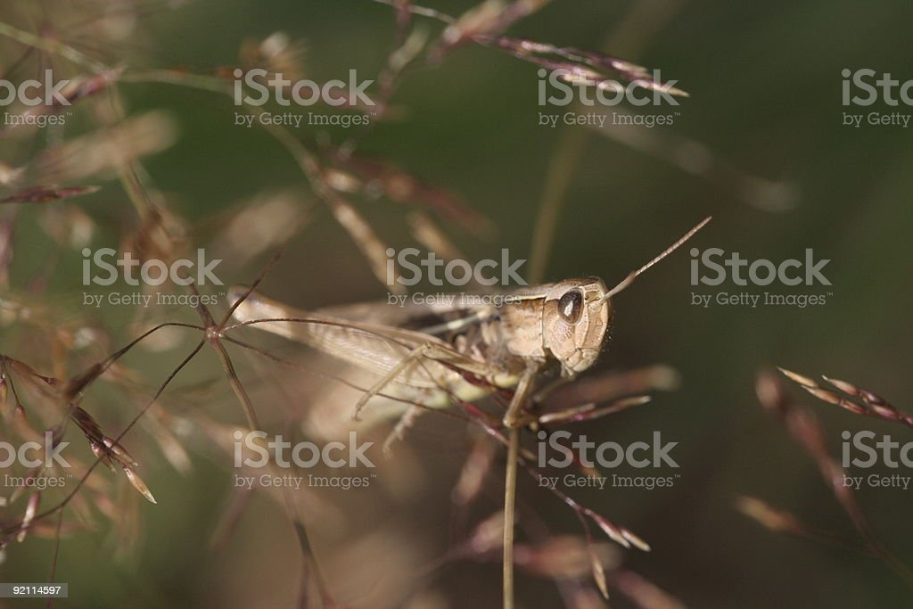 Grasshoppper royalty-free stock photo