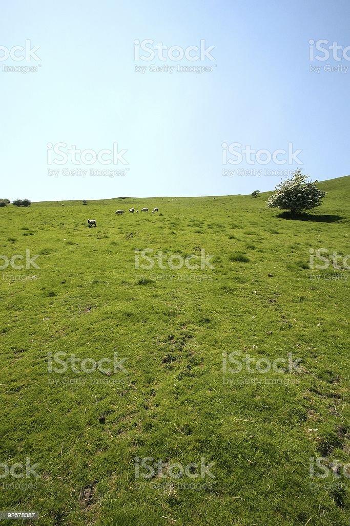 Grassland and sheep stock photo