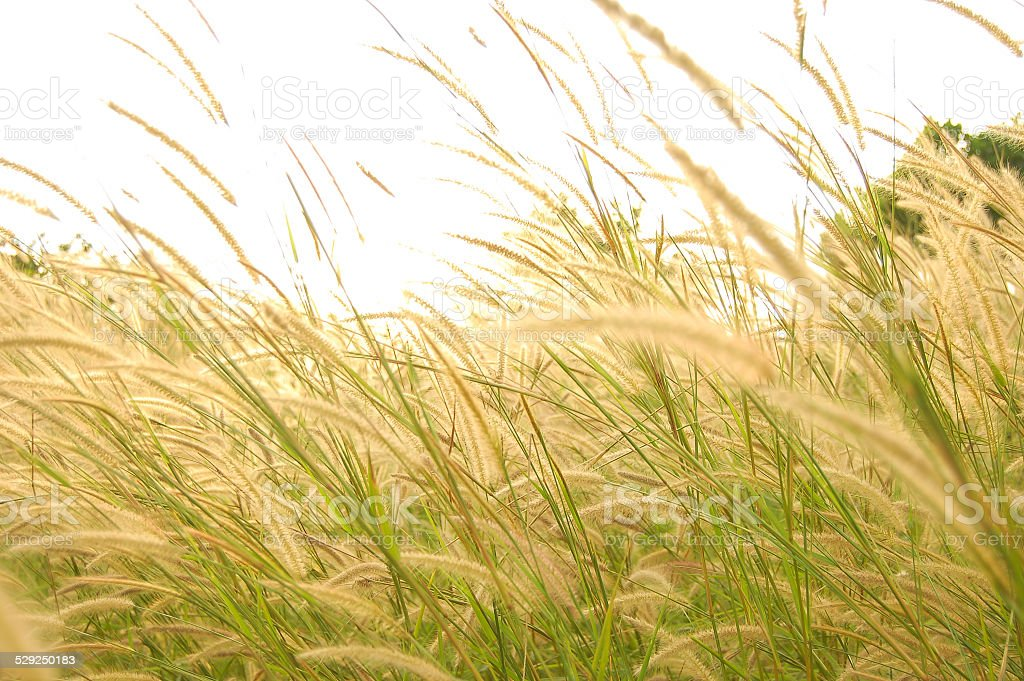 grassland in morning sunrise stock photo