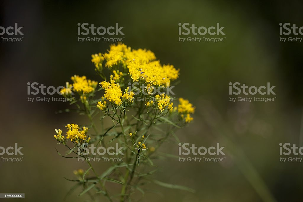 Grassleaf Flat-top Goldenrod (Euthamia graminifolia) stock photo
