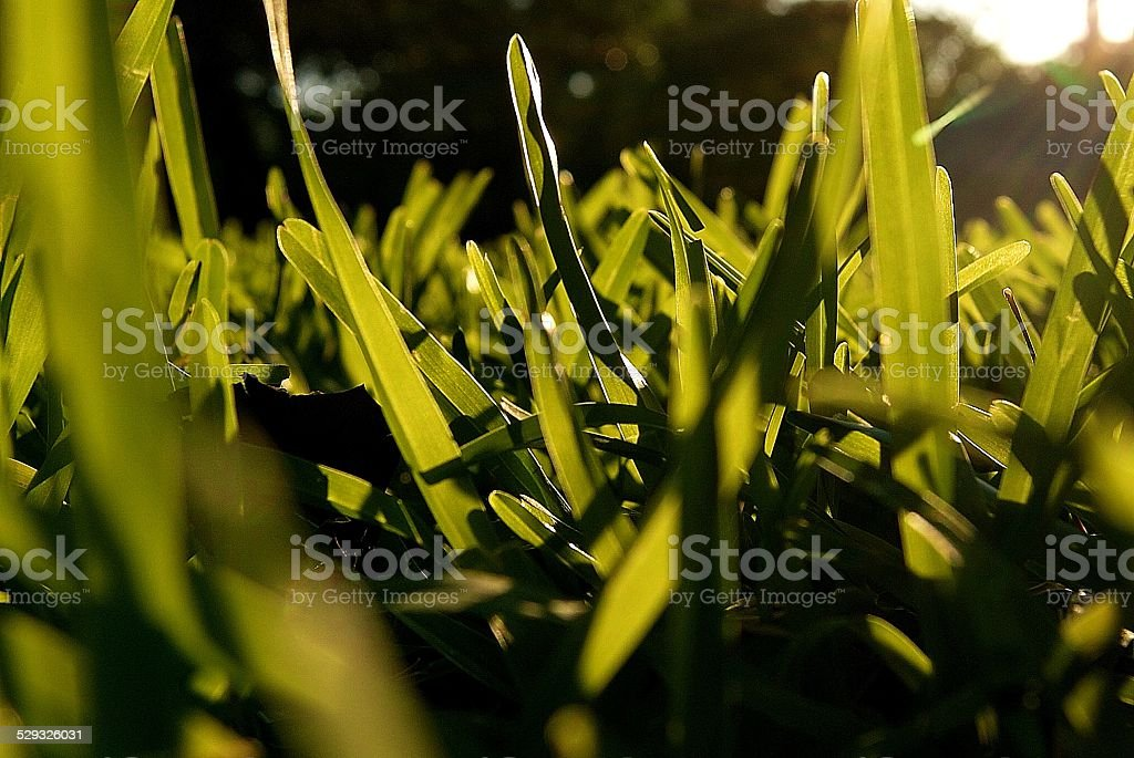 Grass's Eyes royalty-free stock photo