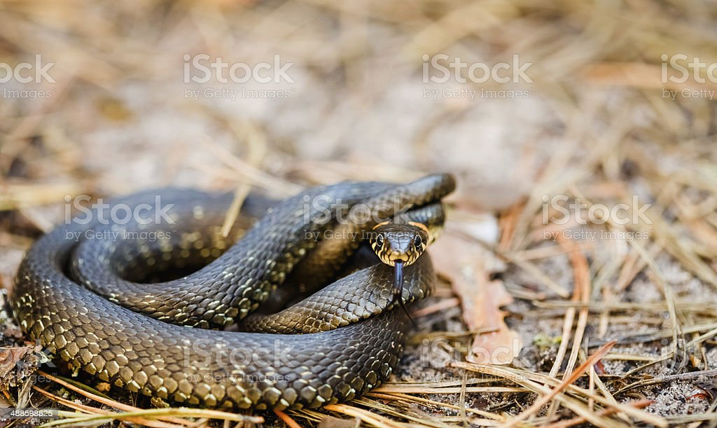 Grass-snake, adder in early spring stock photo