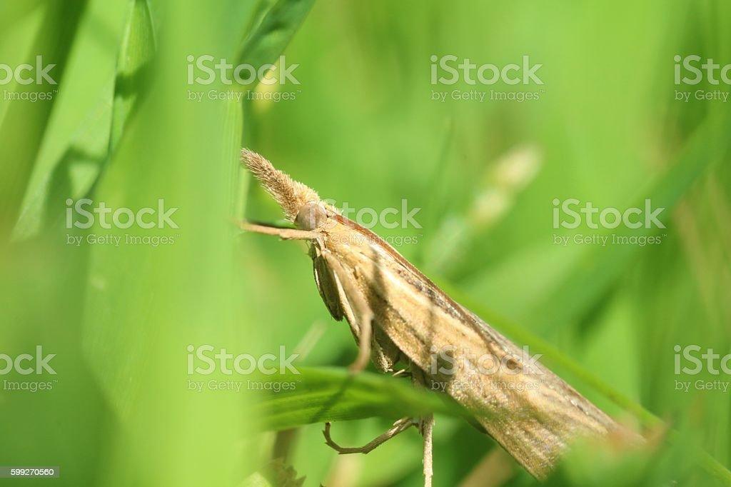Grass-veneer moth stock photo
