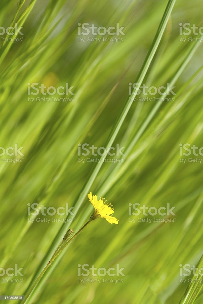 Grassy background and yellow flower royalty-free stock photo