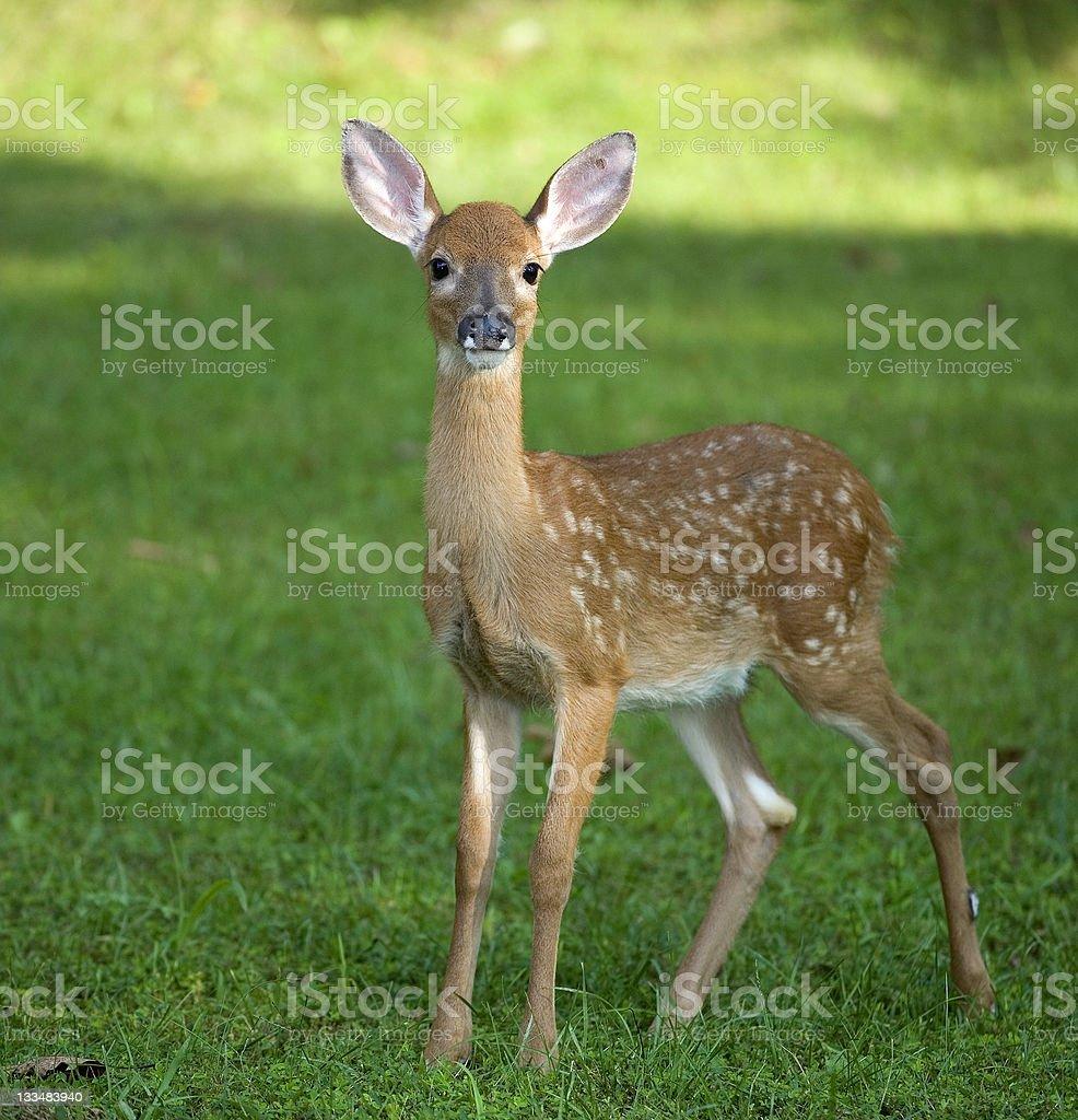 Grassy fawn stock photo