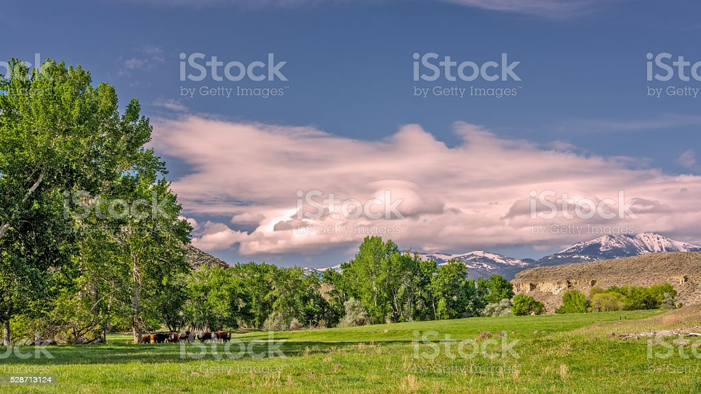 Grassy field and trees with cows farm stock photo