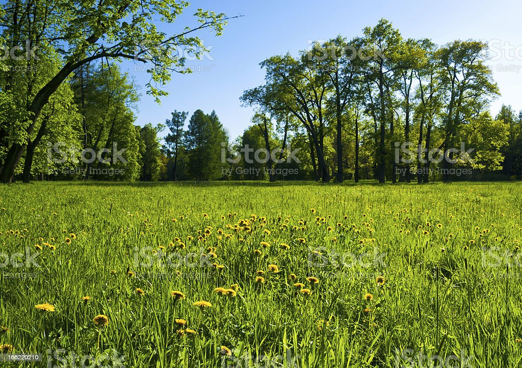 Grassy field with yellow flowers in sunbeams and forest around royalty-free stock photo
