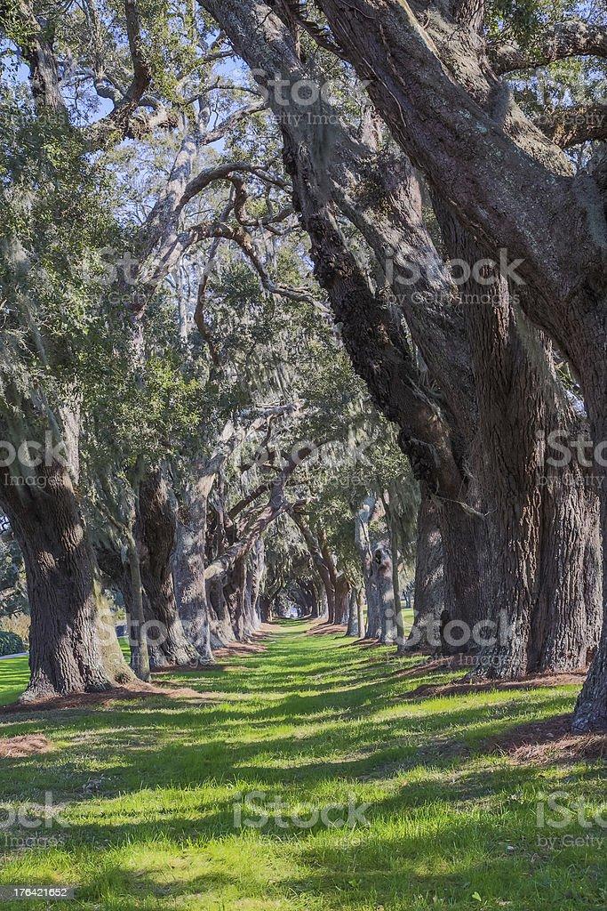 Grassy Lane Between Massive Oaks royalty-free stock photo