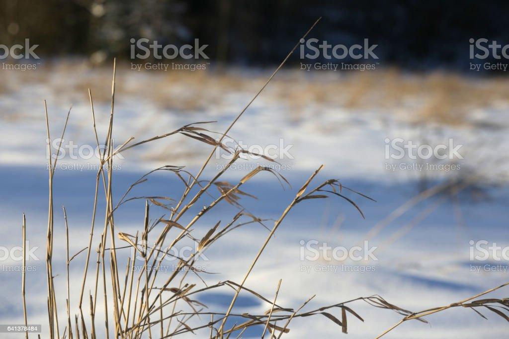 Grassy Plants in Wetlands: Winter in British Columbia, Canada stock photo