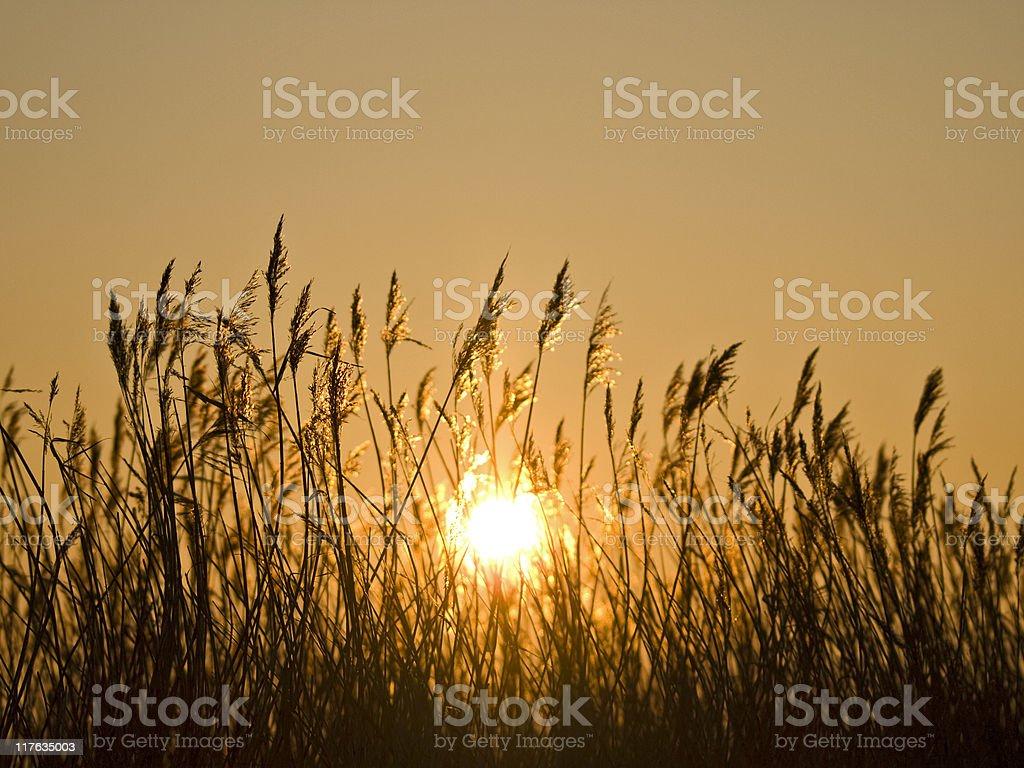 Grassy Silhouette royalty-free stock photo