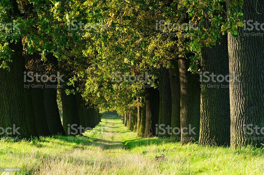 Grassy Tree lined farm road through ancient Oak Trees royalty-free stock photo