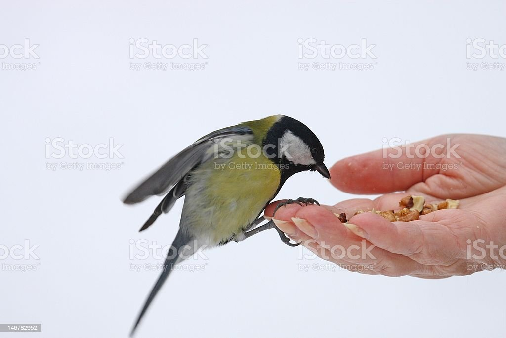 grater titmouse on the open hand royalty-free stock photo