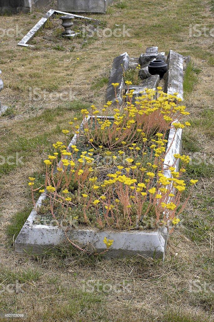 Grave yellow wildflower reflexed sedum stock photo