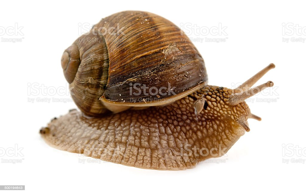 grawling snail isolated stock photo