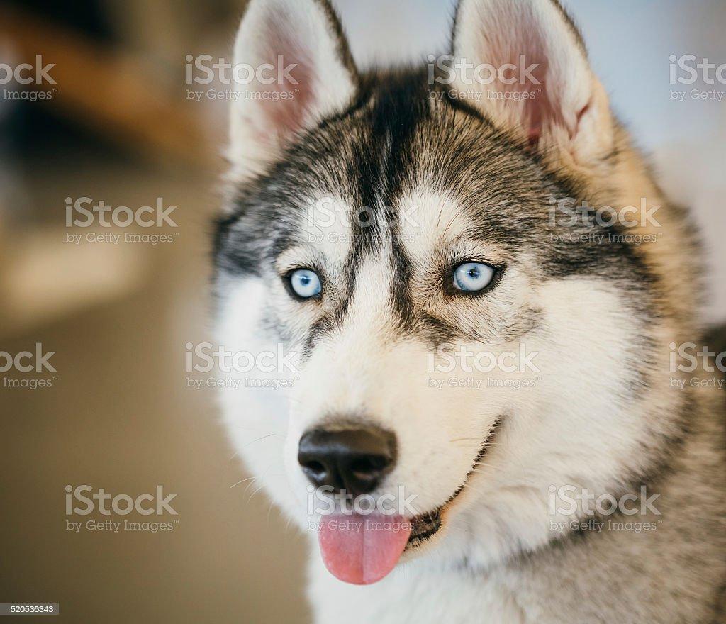 Gray Adult Siberian Husky Dog (Sibirsky husky) stock photo