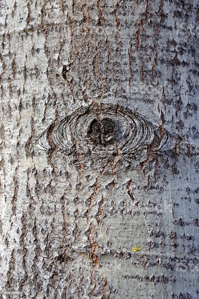gray alder tree bark - eye stock photo