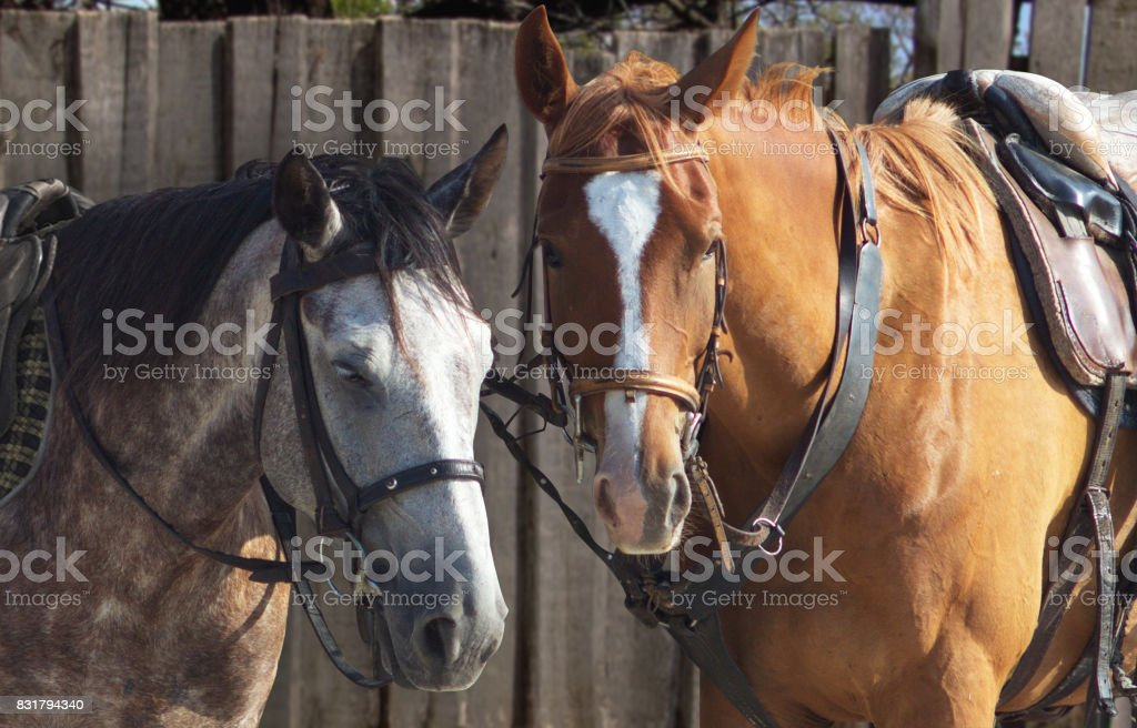 Gray and brown horses stock photo