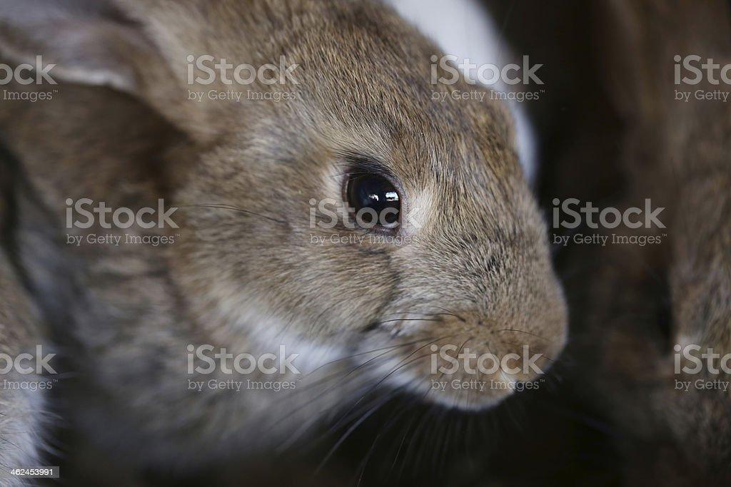 Gray and brown rabbit. stock photo