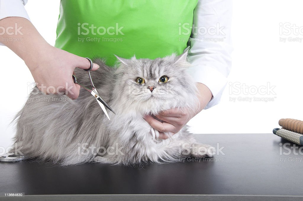 Gray and white cat being groomed royalty-free stock photo