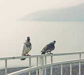 Gray and white pigeons watching over background of blue sea